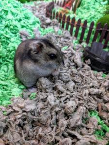 Samwise Hamgee Hobbit Hamster